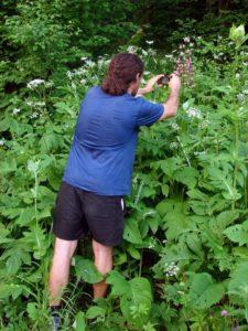 Crin de padure (Lilium martagon) inalt cat un om